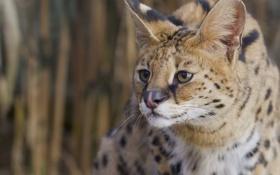 Обои хищник, Сервал, кустарниковая кошка