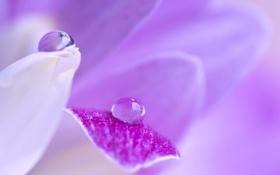Обои цветок, вода, капля, лепестки