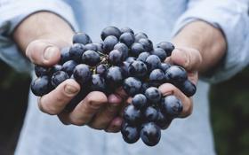 Обои красный, руки, урожай, виноград, кисть, сладкий, сочный
