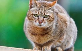 Обои wildcat, дикая кошка, взгляд