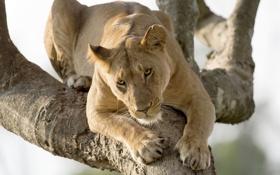 Картинка кошка, дерево, хищник, львица