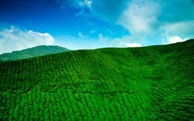 Обои небо, облака, горы, голубое, чайная, зелёная, плантация