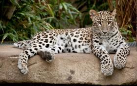 Обои кошка, камень, леопард, персидский