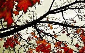 Обои осень, небо, листья, обои, красно-желтые, ветви, клён