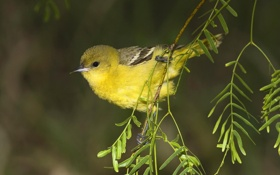 Обои птица, ветка, желтая птичка