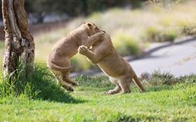 Обои игра, хищники, борьба, драка, пара, малыши, дикие кошки