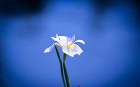 Обои стебель, цветок, лепестки