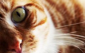 Обои усы, взгляд, глаз, Кошка, шерсть, рыжая