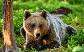 Картинка поляна, лес, бурый, трава, медведь, дерево