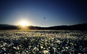 Картинка поле, небо, солнце, закат, цветы, воздушные, белые