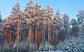 Обои зима, лес, небо, снег, елки, сосны
