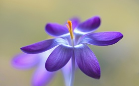 Обои цветок, природа, лепестки, тычинки