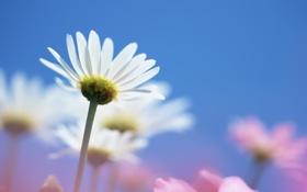 Картинка голубое, ромашки, розовое, цветы
