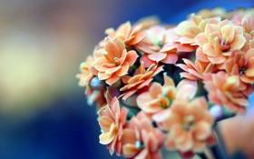 Обои макро, цветы, оранжевый, синий, лепестки, бежевый, соцветия