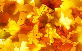 Обои листья, осень, опавшие, желтые, свет, листва