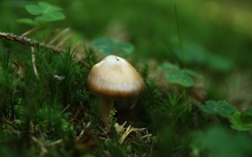 Обои клевер, мох, лес, грибущий, MagicMushroom, грибочек