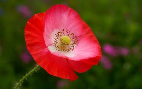 Обои природа, цветок, мак, лепестки