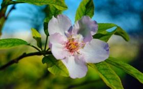 Обои цветок, листья, природа, лепестки, ветвь, цветение