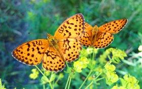 Обои бабочки, зелень, трава, макро, лето