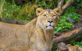 Картинка морда, интерес, хищник, лев, львица