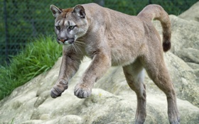 Картинка прыжок, горный лев, ©Tambako The Jaguar, пума, кугуар, кошка