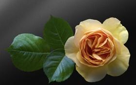 Обои фон, роза, бутон, листочки, жёлтая, жёлтая роза