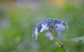 Картинка зелень, цветок, листья, макро, синий, природа, голубой