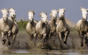 Обои вода, кони, лошади, грязь