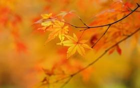 Обои клен, листья, осень, желтые, дерево