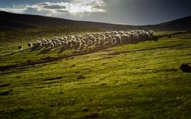 Картинка свет, природа, холмы, китай, овцы, пастбище, стадо
