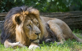 Картинка отдых, лев, ©Tambako The Jaguar, трава, кошка