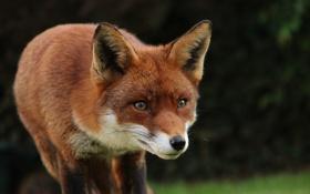 Обои fox, animal, cute