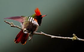 Картинка птица, оперение, хохолок, яркая, ветка