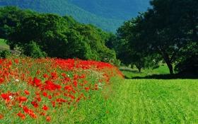 Картинка поле, трава, деревья, пейзаж, цветы, горы, маки