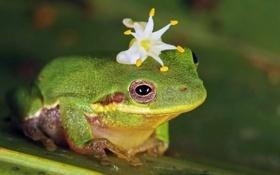 Обои цветок, зеленый, лягушка, корона, царевна