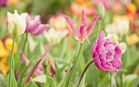 Обои цветы, краски, яркие, весна, Тюльпаны, tulip