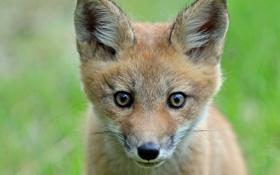 Обои лиса, лисица, морда, взгляд, лисёнок