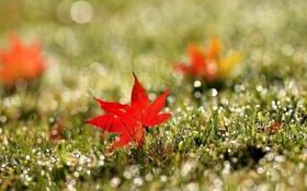 Обои трава, красный, лист, роса, блики, кленовый