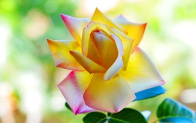 Обои лето, фон, роза, лепестки, красивая