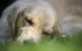 Обои фон, цветок, собака