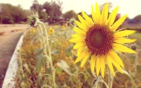Обои sun flower, beautiful, cool, vintage, sun, cool, awesome