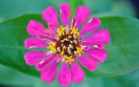 Обои цветок, листья, природа, растение, лепестки