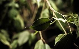 Обои зелень, листья, ветка