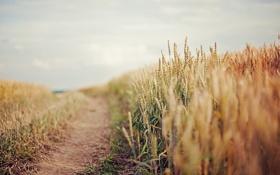 Картинка дорога, пшеница, поле, небо, колос