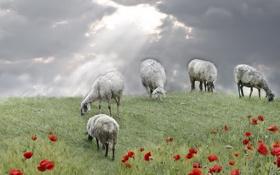 Картинка поле, овцы, маки