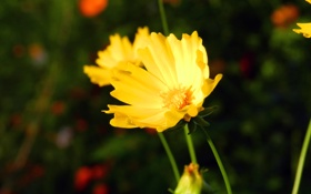 Обои цветок, цветы, желтый