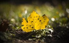 Обои желтый, лист, опавший, осенний