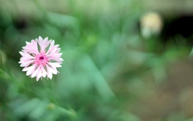 Обои зелень, трава, розовый, весна, лепестки, тычинки, василек