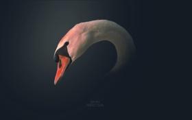 Обои надпись, птица, рисунок, лебедь, swan, bird, 2560x1600