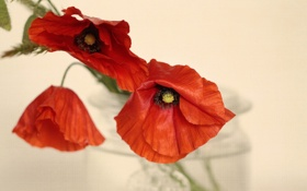 Обои цветы, фон, маки